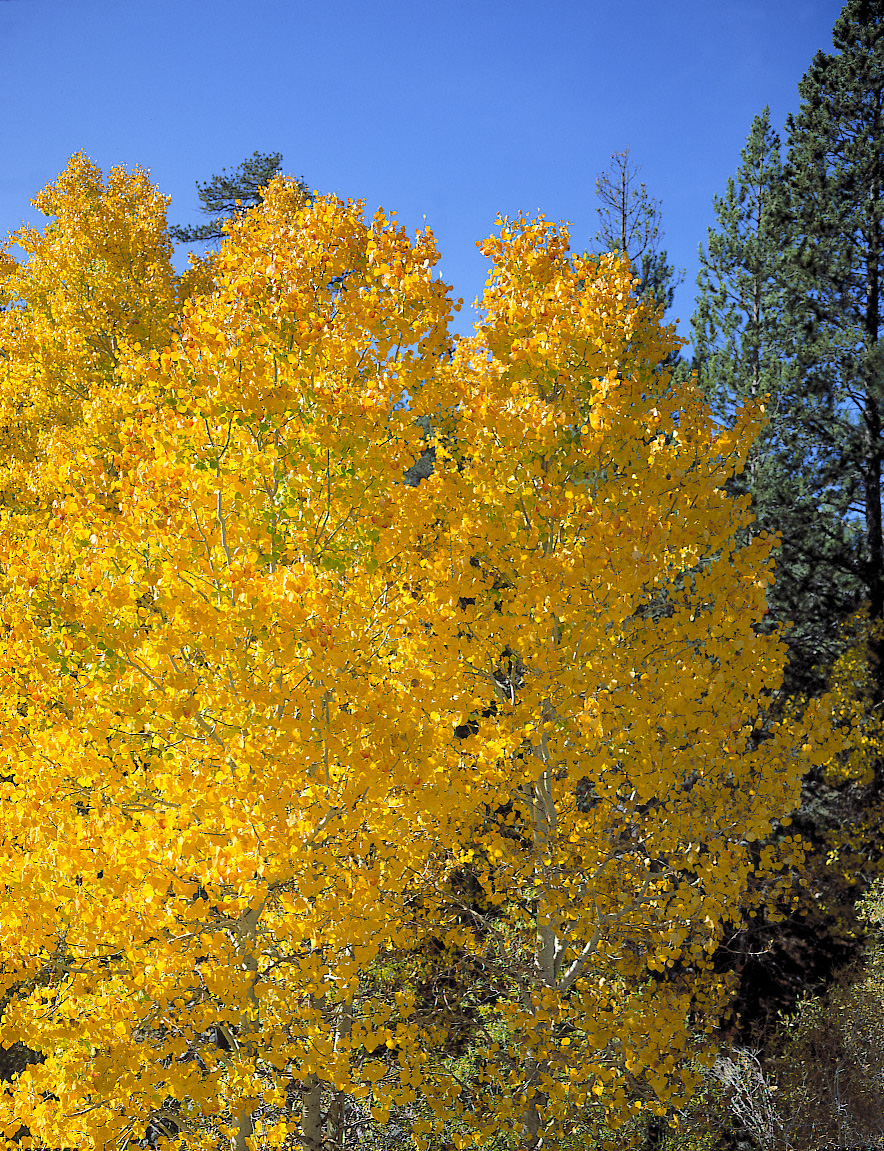 Fall Color: Aspens Along Lee Vining Creek --  Below Tioga Pass